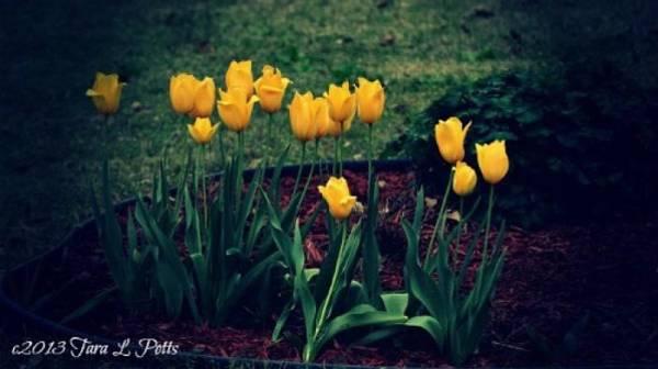 Rockdale County Photograph - Yellow Tulips by Tara Potts