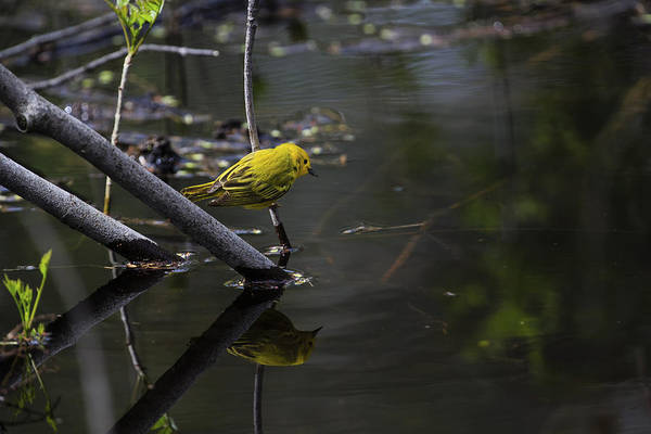 Southern Ontario Photograph - Yellow Warbler 2 by Gary Hall