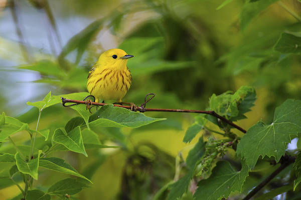Southern Ontario Photograph - Yellow Warbler by Gary Hall
