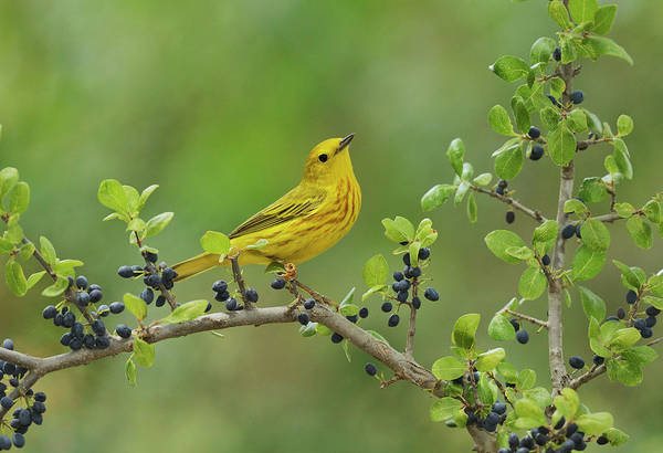 Wall Art - Photograph - Yellow Warbler Male Perched On Elbow by Rolf Nussbaumer