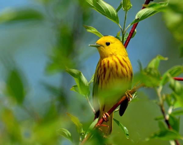 Yellow Warbler Art Print