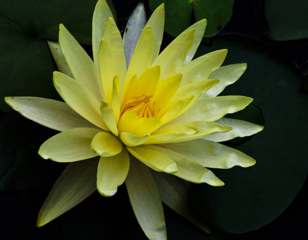 Photograph - Yellow Waterlily by Christi Kraft