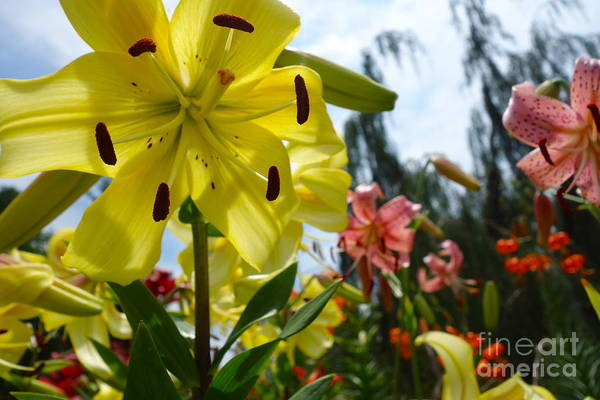 Photograph - Yellow Whopper Lily 1 by Jacqueline Athmann