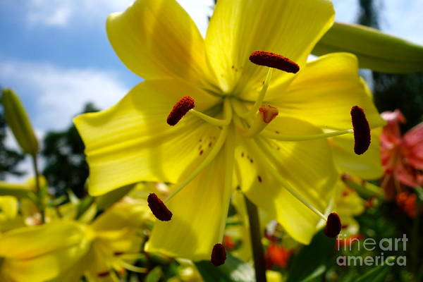 Photograph - Yellow Whopper Lily 2 by Jacqueline Athmann