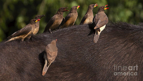 Yellowbilled Oxpeckers On Buffalo Art Print