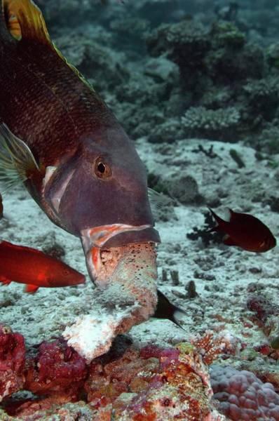 The Maldives Photograph - Yellowfin Emperor Feeding by Scubazoo/science Photo Library