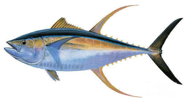 Bahamas Painting - Yellowfin Tuna by Carey Chen