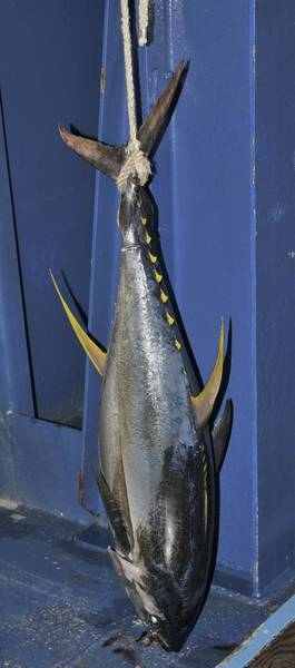 Photograph - Yellowfin Tuna Hanging From A Rope by Bradford Martin