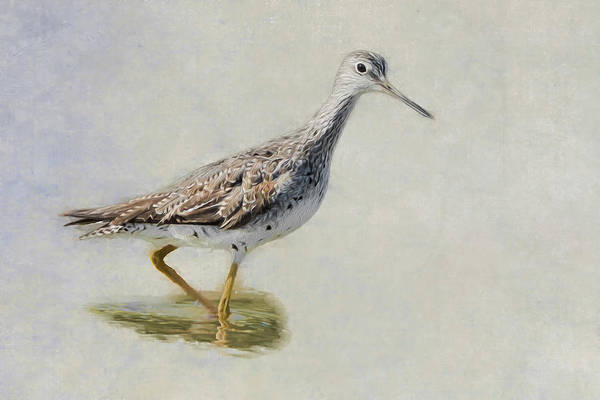 Sandpiper Photograph - Yellowlegs by Bill Wakeley