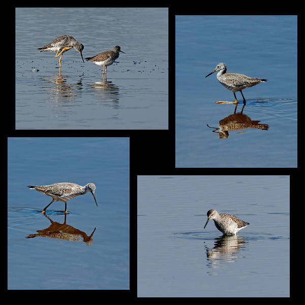 Photograph - Yellowlegs Collage by Dawn Currie