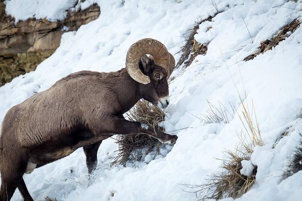 Photograph - Yellowstone Bighorn by Michael Chatt