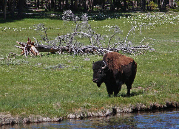 Yellowstone Bison By Nez Perce Creek Art Print
