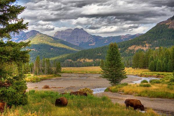 Yellowstone Bison Art Print by Michael H Spivak