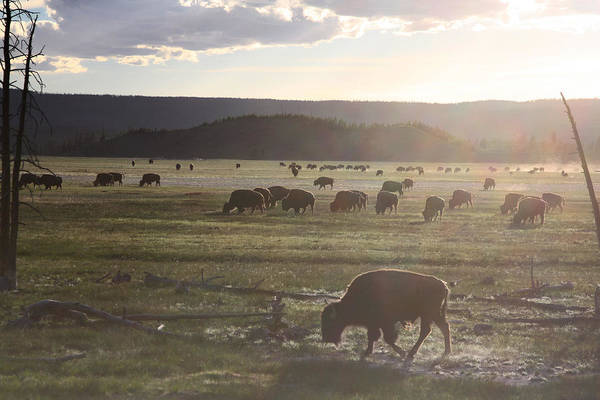 Photograph - Yellowstone Bison Near Lower Geyser Basin by Jean Clark