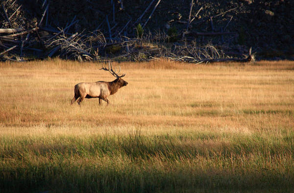 Photograph - Yellowstone Elk by Aidan Moran