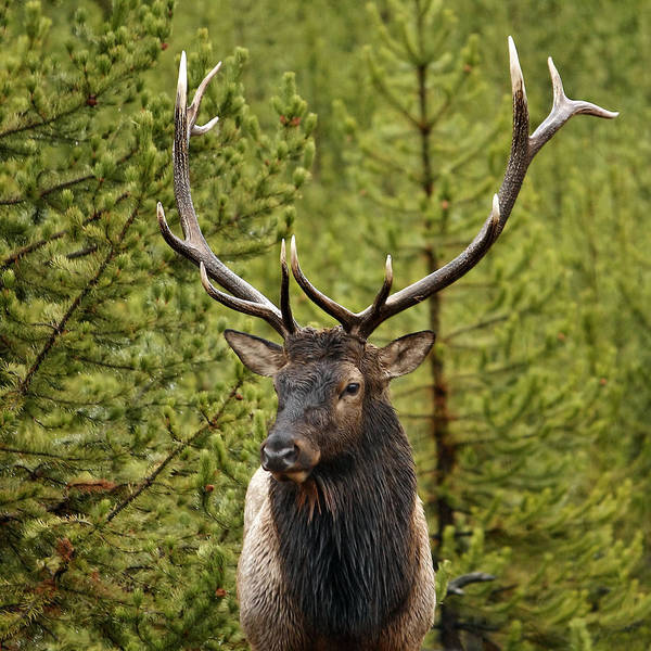 Photograph - Yellowstone Elk by Wes and Dotty Weber