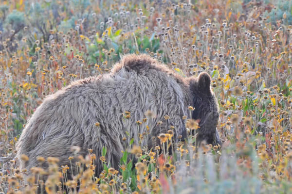 Photograph - Yellowstone Grizzly Bear by Ginger Wakem