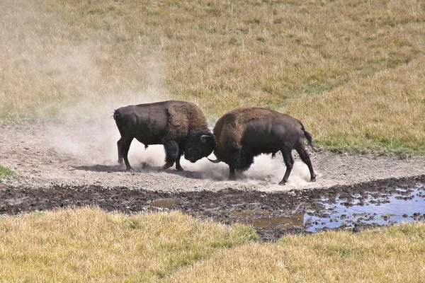 Photograph - Yellowstone Turf War by Wes and Dotty Weber
