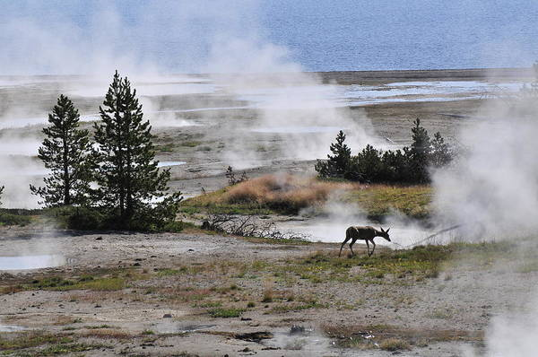 Photograph - Yellowstone's Deer At West Thumb Geyser by Ginger Wakem