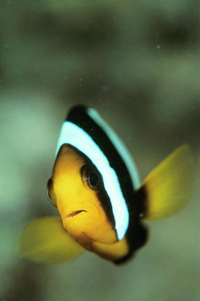 Kimbe Bay Wall Art - Photograph - Yellowtail Anemonefish by Matthew Oldfield/science Photo Library