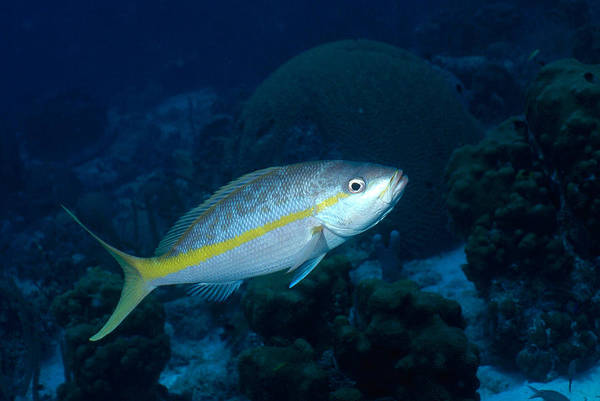 Wall Art - Photograph - Yellowtail Snapper by Charles Angelo