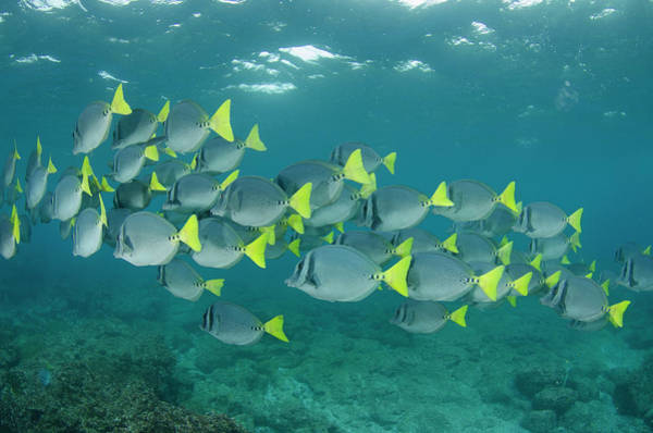 Ecuador Photograph - Yellowtailed Surgeonfish (prionurus by Pete Oxford