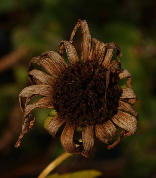 Photograph - Yesterday's Blackeye Susan 2 by Robert Morin