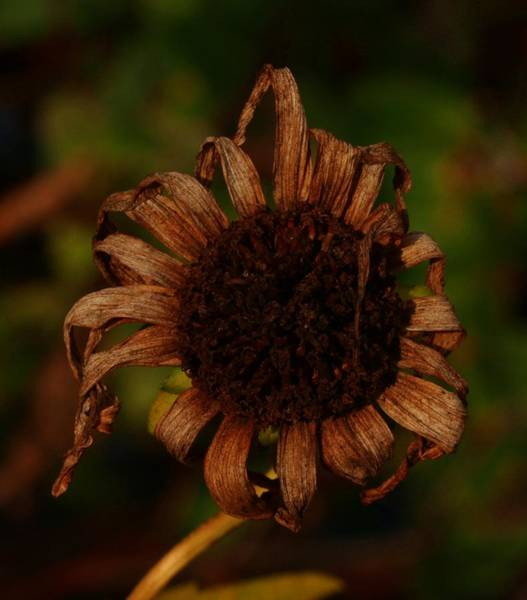 Photograph - Yesterday's Blackeye Susan 2b by Robert Morin