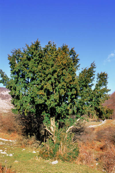 New Leaf Photograph - Yew Tree (taxus Baccata) by Bruno Petriglia/science Photo Library