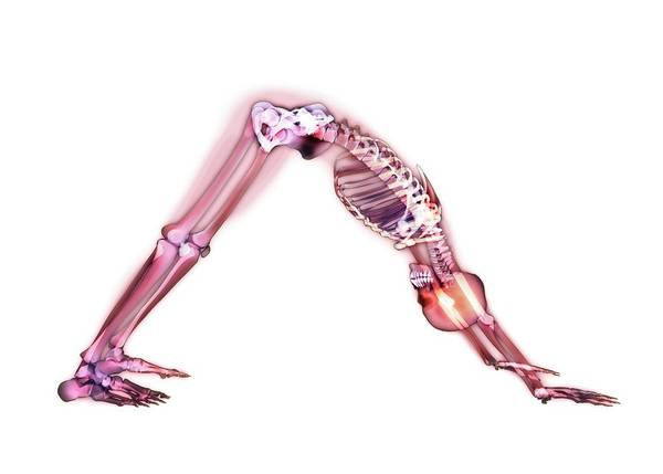 Anatomical Position Wall Art - Photograph - Yoga Stretch by Gustoimages/science Photo Library