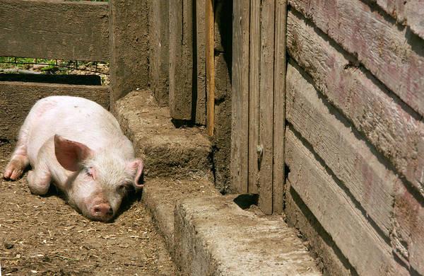 Pigpens Photograph - Yorkshire Pig by Bonnie Sue Rauch