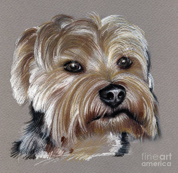 Drawing - Yorkshire Terrier- Drawing by Daliana Pacuraru