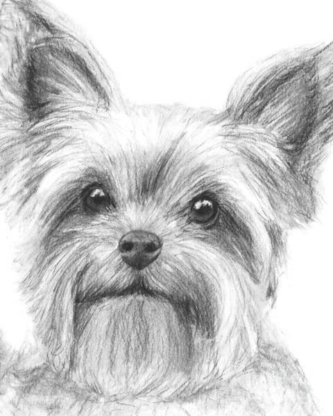 Drawing - Yorkshire Terrier Drawing by Kate Sumners