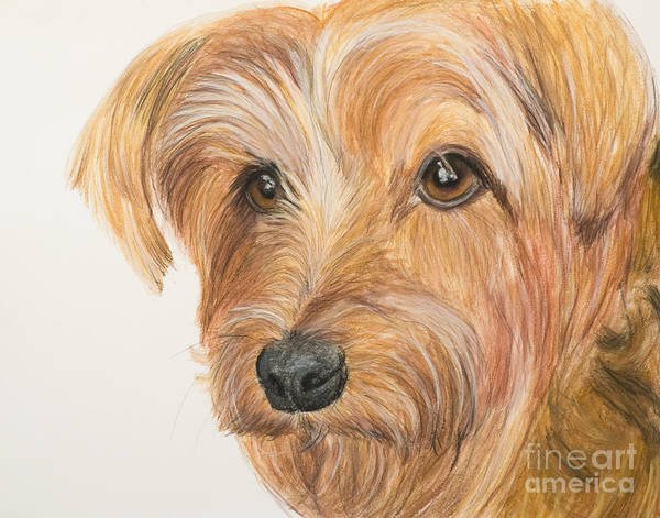 Painting - Yorkshire Terrier Face by Kate Sumners