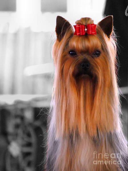 Photograph - Yorkshire Terrier by Jai Johnson