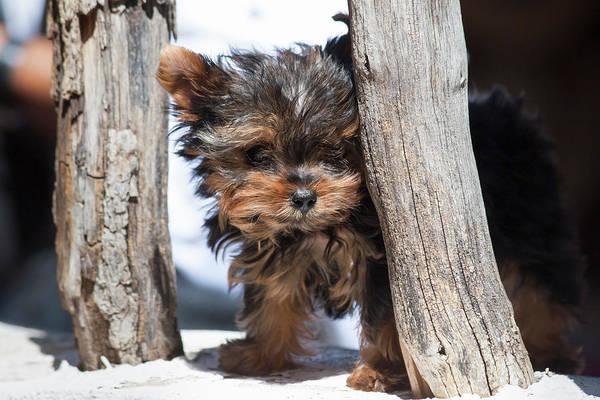 Wall Art - Photograph - Yorkshire Terrier Puppy Sitting by Zandria Muench Beraldo