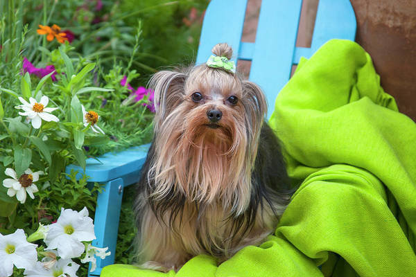 Wall Art - Photograph - Yorkshire Terrier Sitting On Blue Chair by Zandria Muench Beraldo