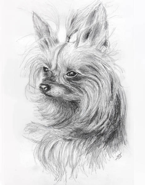 Drawing - Yorkshire Terrier by Susan Jenkins