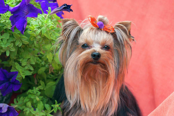 Wall Art - Photograph - Yorkshire Terrier With Potted Flowers by Zandria Muench Beraldo
