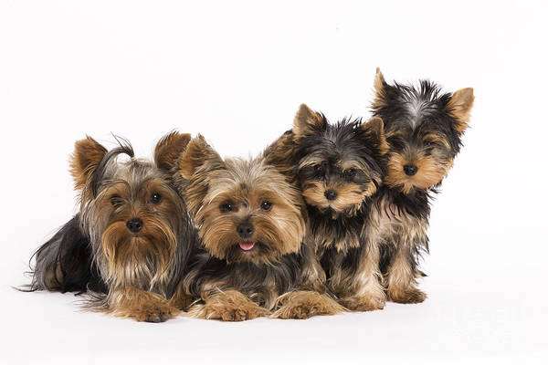 Yorkie Wall Art - Photograph - Yorkshire Terriers by Jean-Michel Labat