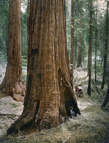 Photograph - Yosemite Sequoia, C1900 by Granger
