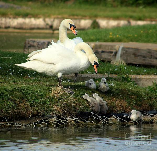 Swan Photograph - You Can Do It by Linsey Williams