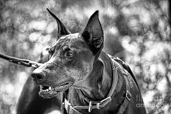 Doberman Photograph - You Have About 15 Seconds V4 by Douglas Barnard