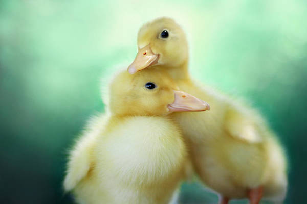 Ducks Photograph - You Make Me Smile by Amy Tyler