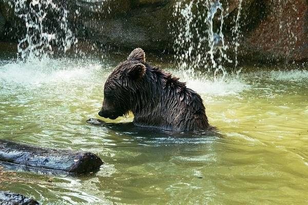 Ursidae Wall Art - Photograph - Young Adult Brown Bear In Water by Brian Gadsby/science Photo Library