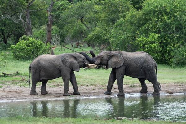 African Bush Elephant Photograph - Young African Elephant Bulls Greeting by Tony Camacho/science Photo Library