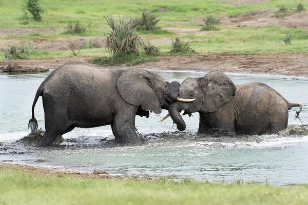 Behaviour Photograph - Young African Elephant Bulls Sparing by Tony Camacho/science Photo Library
