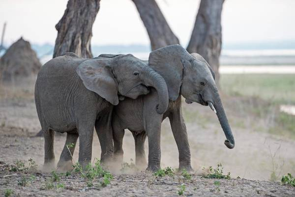 African Elephant Photograph - Young African Elephants At Play by Tony Camacho