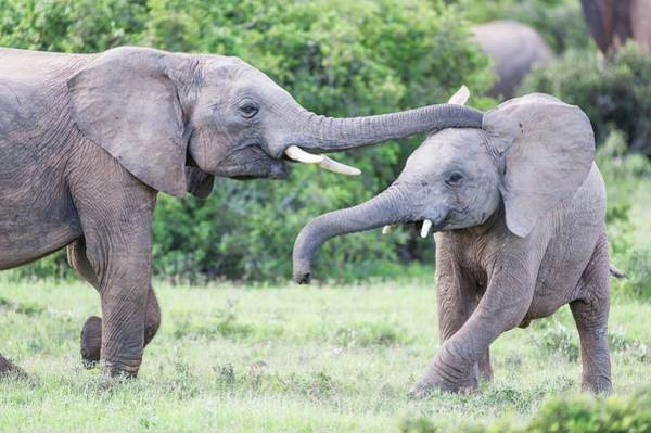 African Elephant Photograph - Young African Elephants Playing by Peter Chadwick