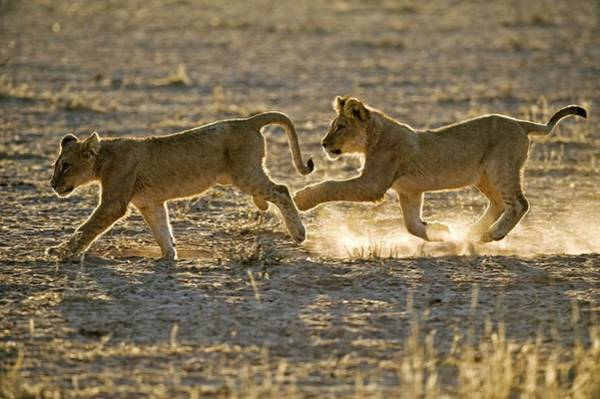 Lion Cubs Photograph - Young African Lions by Tony Camacho/science Photo Library